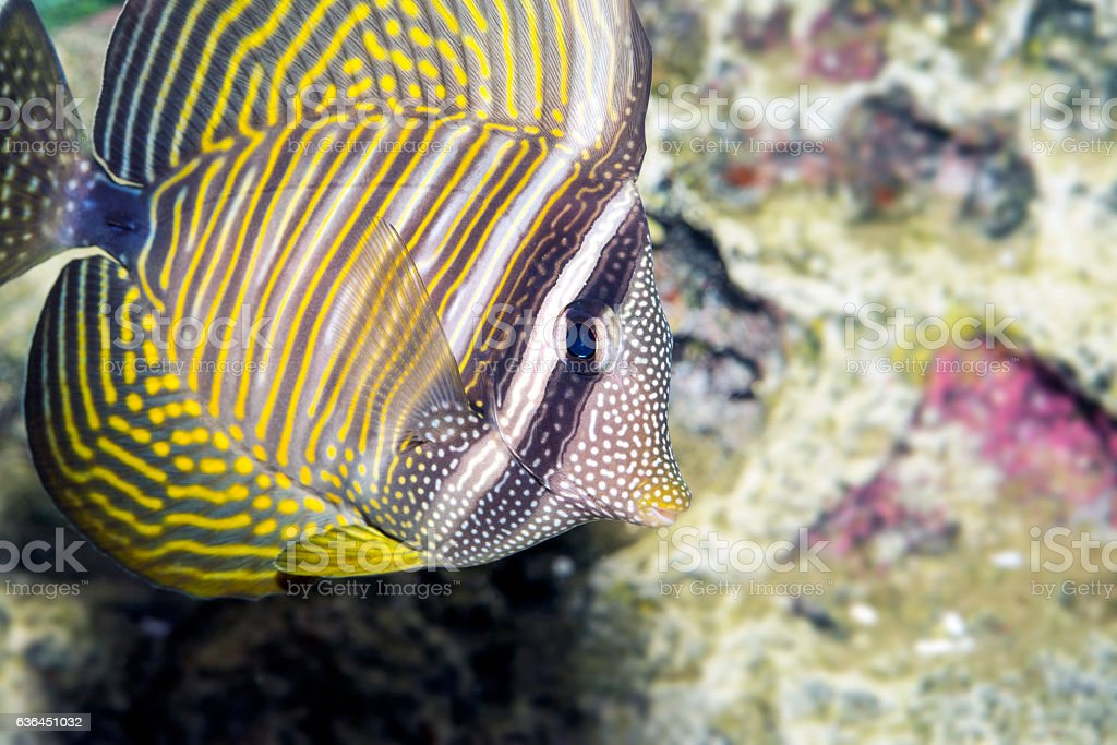 Pacific Sailfin Tang, Zebrasoma veliferum, in a Coral Reef stock photo