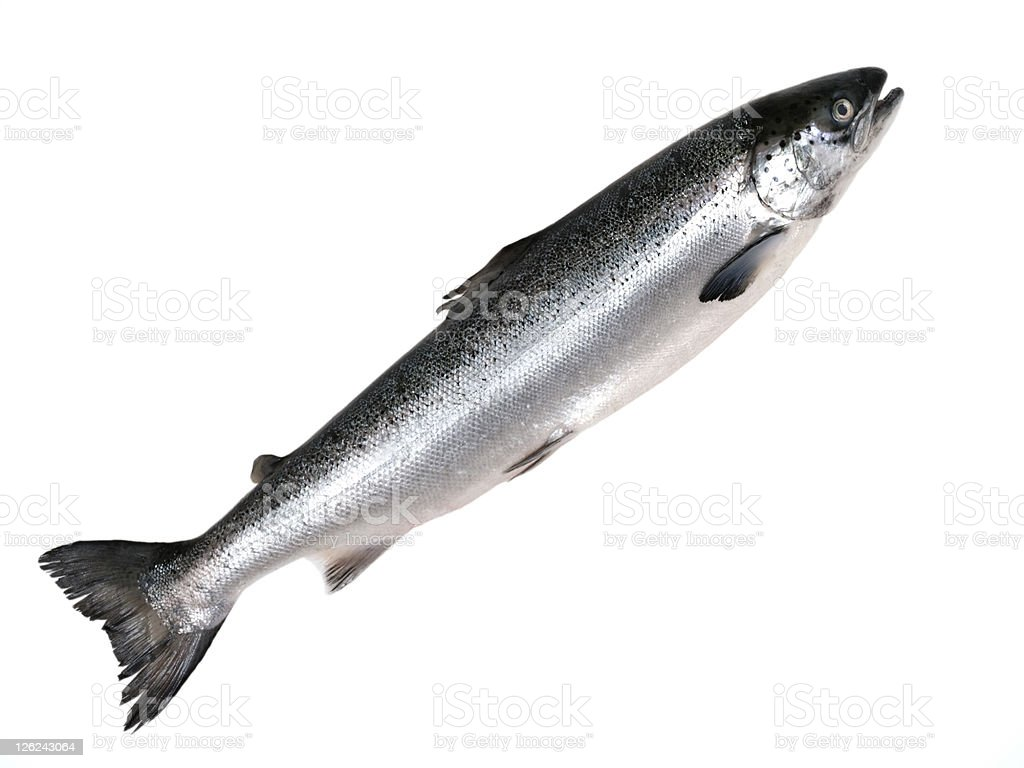 Pacific Salmon. royalty-free stock photo