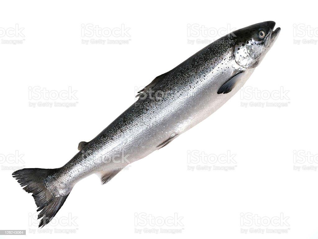 Pacific Salmon. stock photo