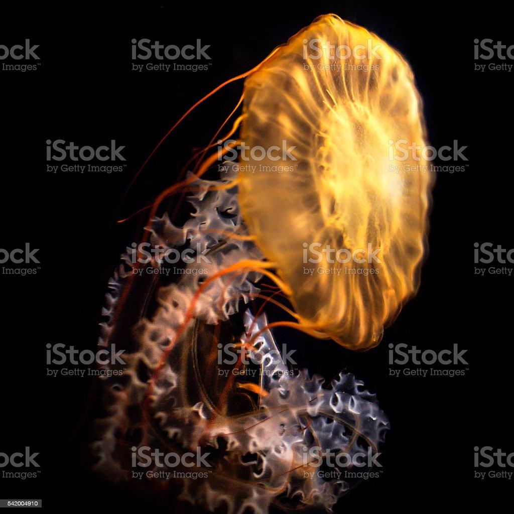 Pacific Sea Nettle (Chrysaora fuscescens) Jellyfish royalty-free stock photo