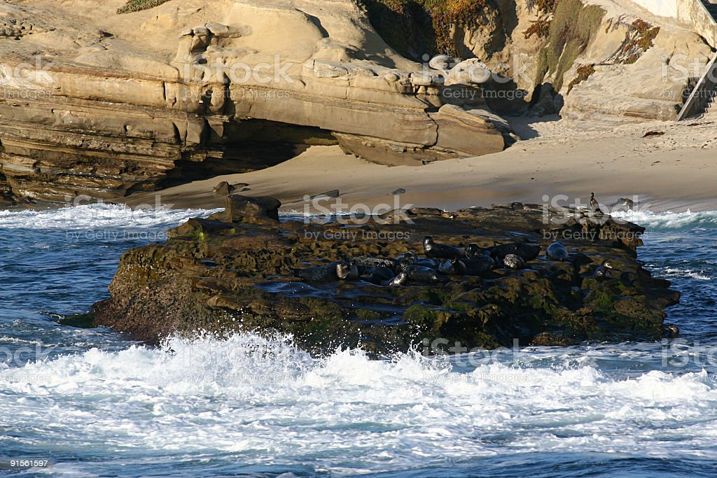 Pacific Seal Colony royalty-free stock photo