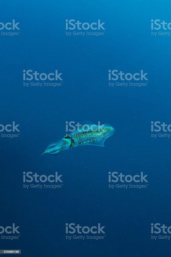 Pacific Squid and Plankton stock photo