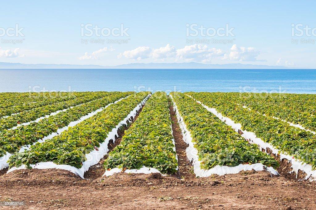 Pacific Strawberry Field stock photo