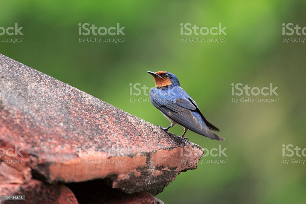 Pacific Swallow stock photo