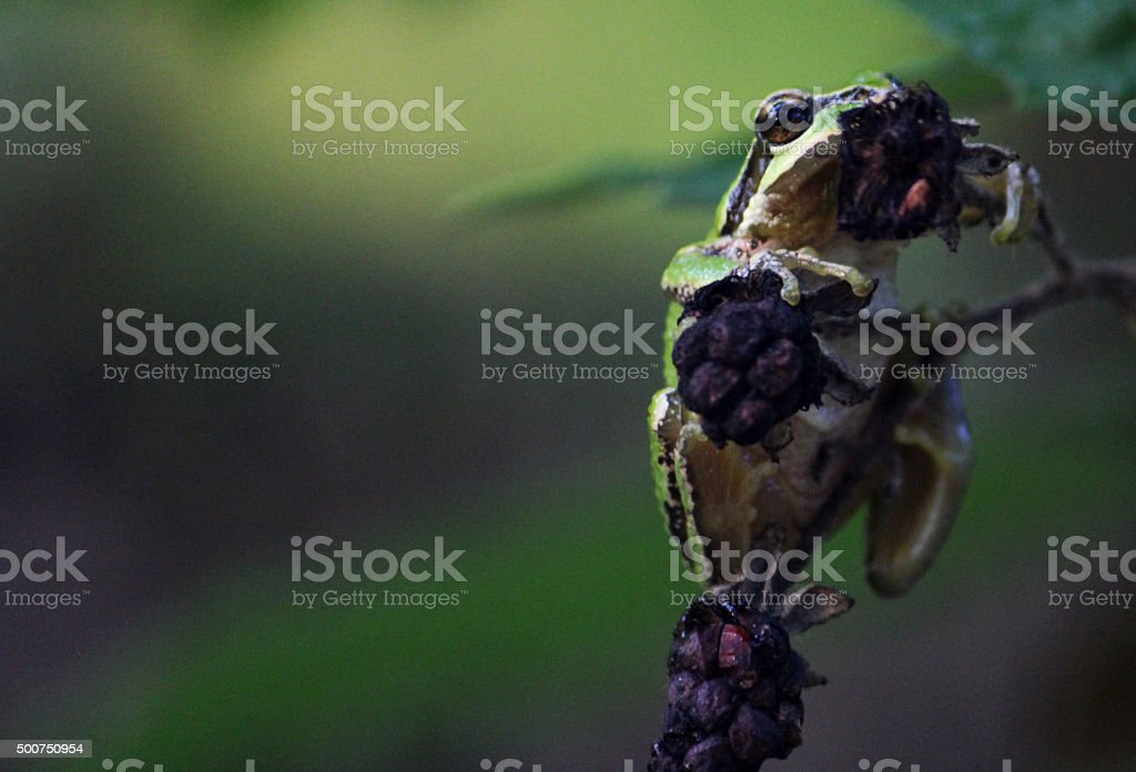 Pacific Tree Frog stock photo
