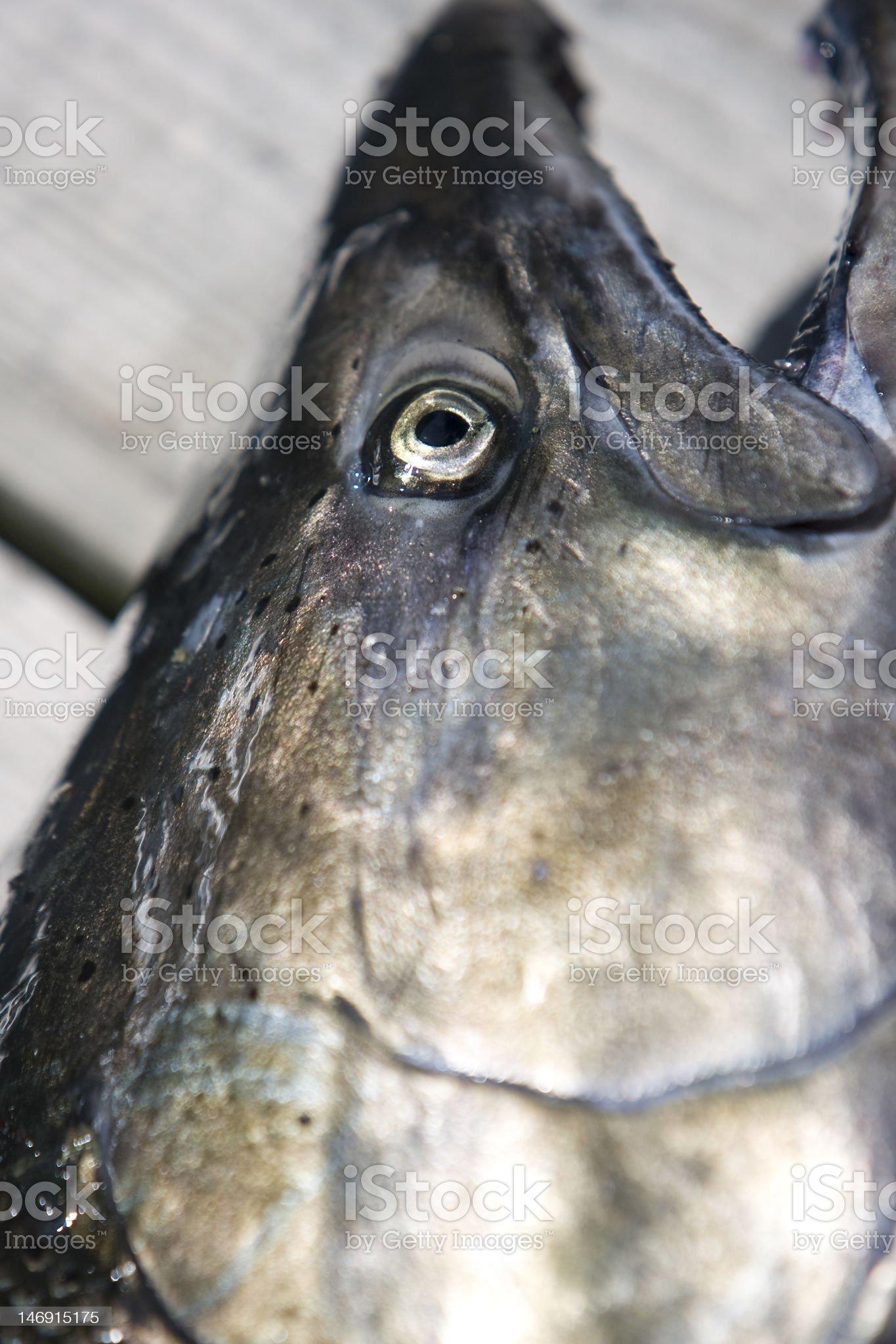 Pacific Tyee Salmon royalty-free stock photo
