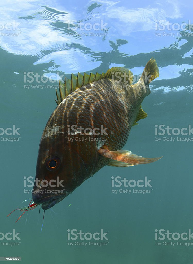 Pacific yellowtail caught in ocean royalty-free stock photo