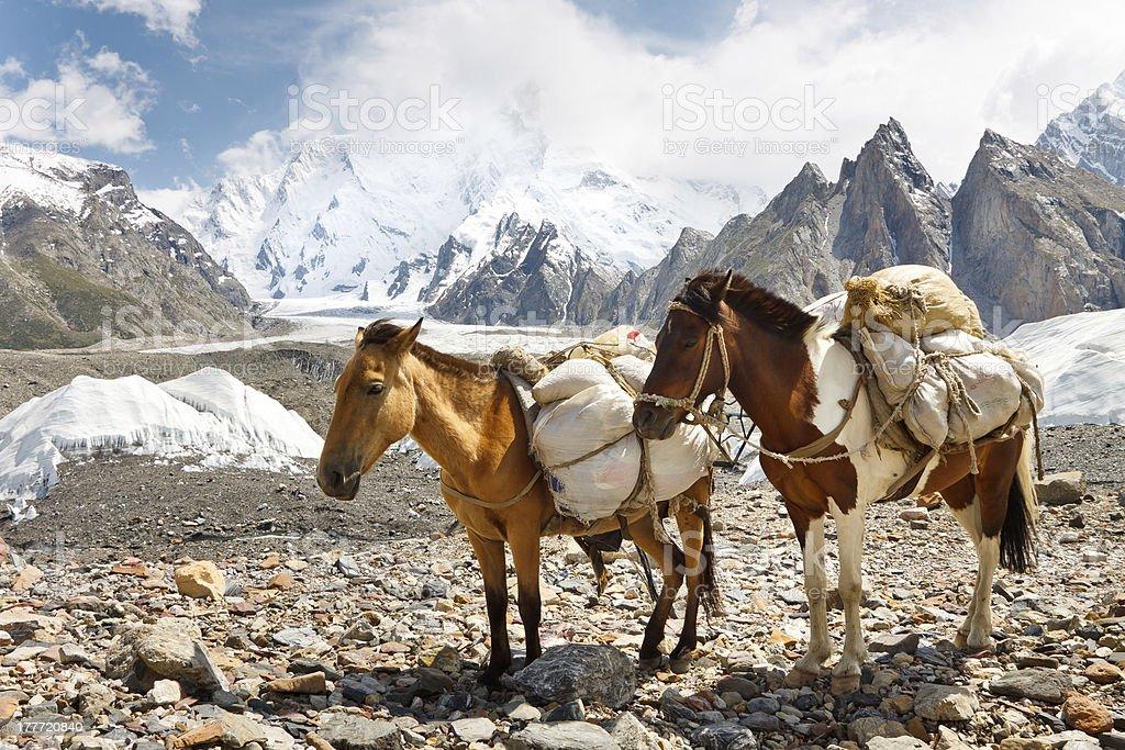 Pack Horses in the Karakorum, Pakistan royalty-free stock photo