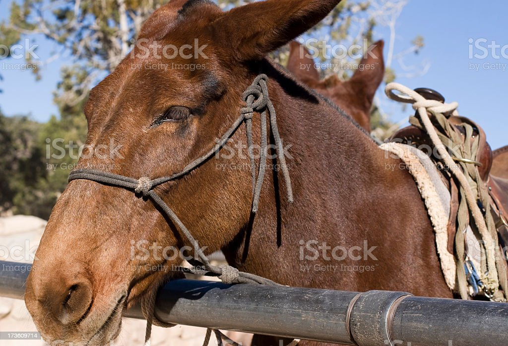 Pack Mule royalty-free stock photo