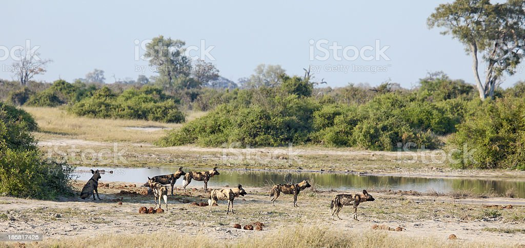 'Pack of African Painted Hunting Dogs; waterhole, Chobe, Botswana' stock photo