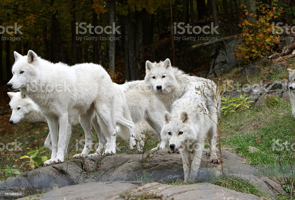 Pack of Five Arctic Wolves stock photo
