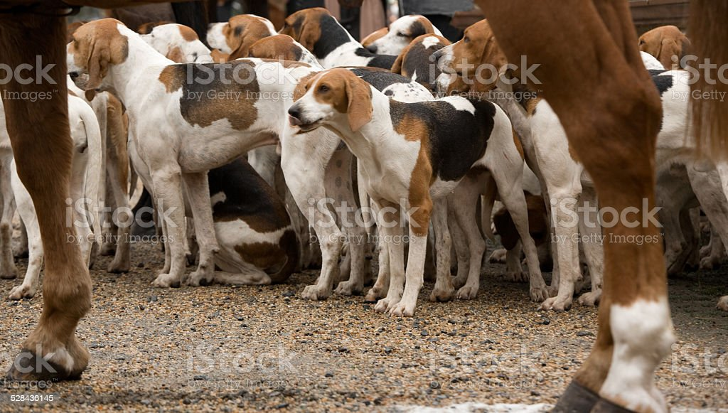 Pack of foxhounds ready for fox hunting stock photo