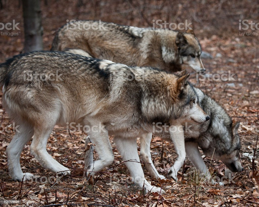 Pack of Grey Wolves stock photo