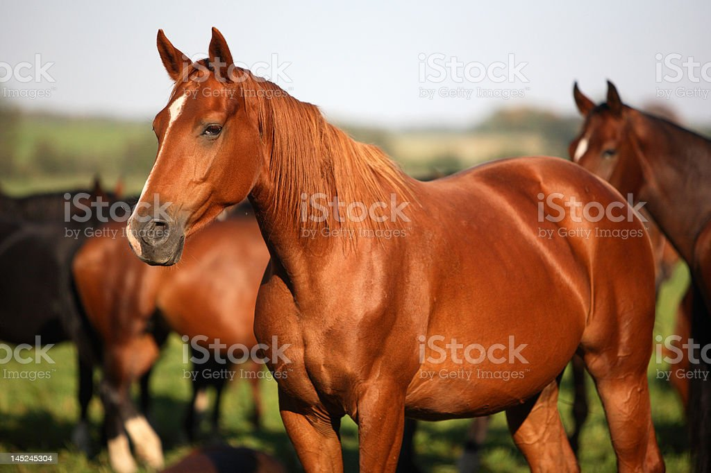 pack of horses stock photo