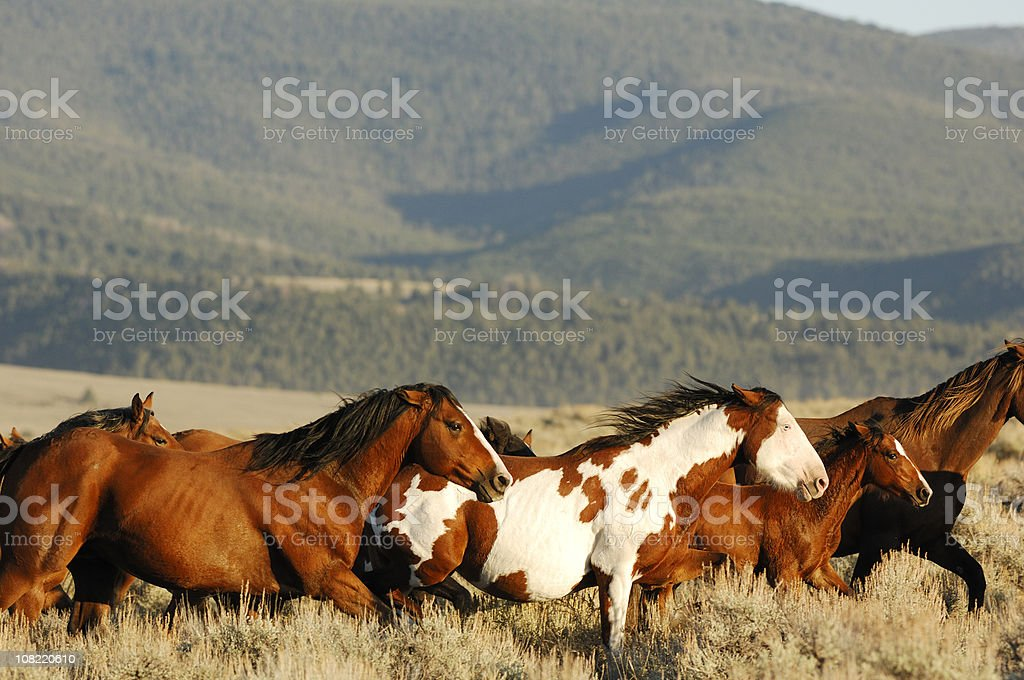 Pack of Horses Running Through Mountain Valley stock photo