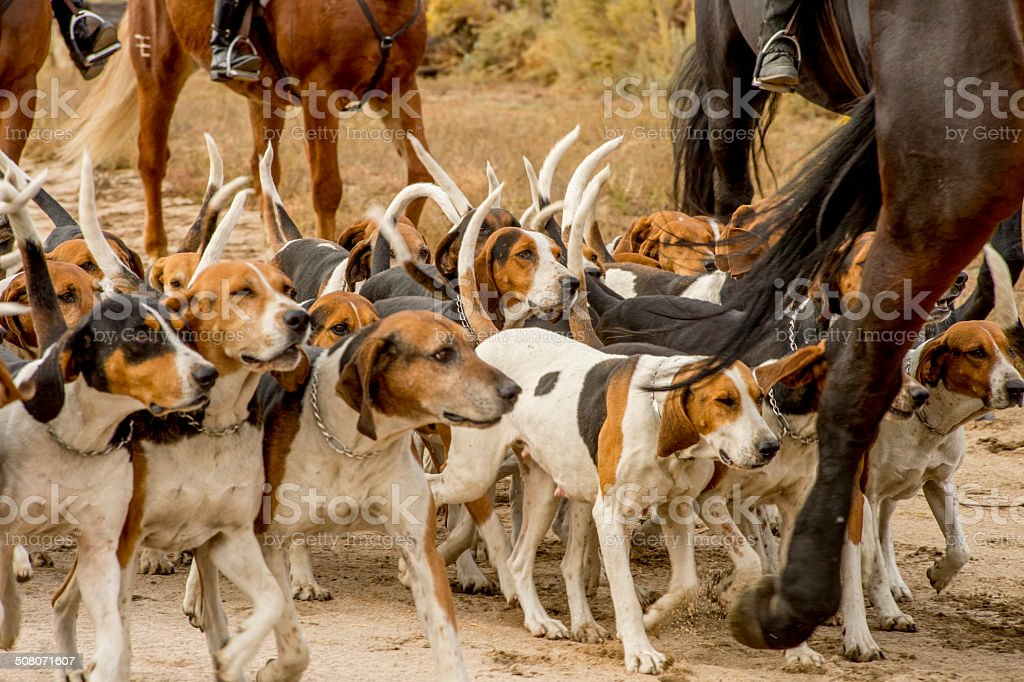 Pack of Hounds with Horses stock photo