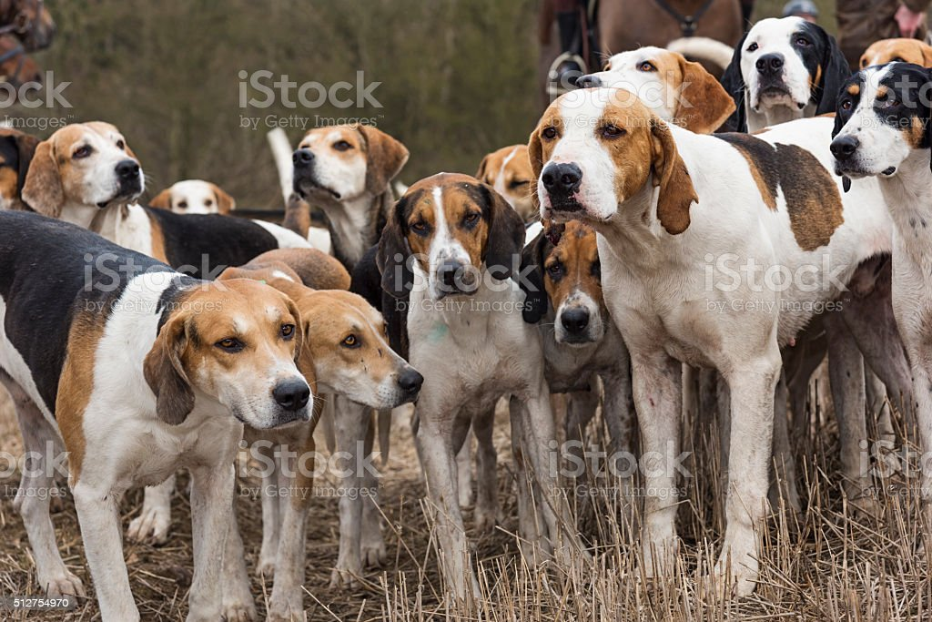 Pack of Hunting Hounds stock photo
