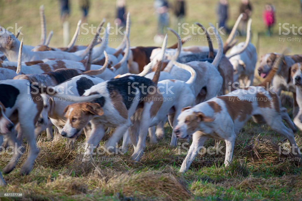Pack of Hunting Hounds with slight motion blur stock photo