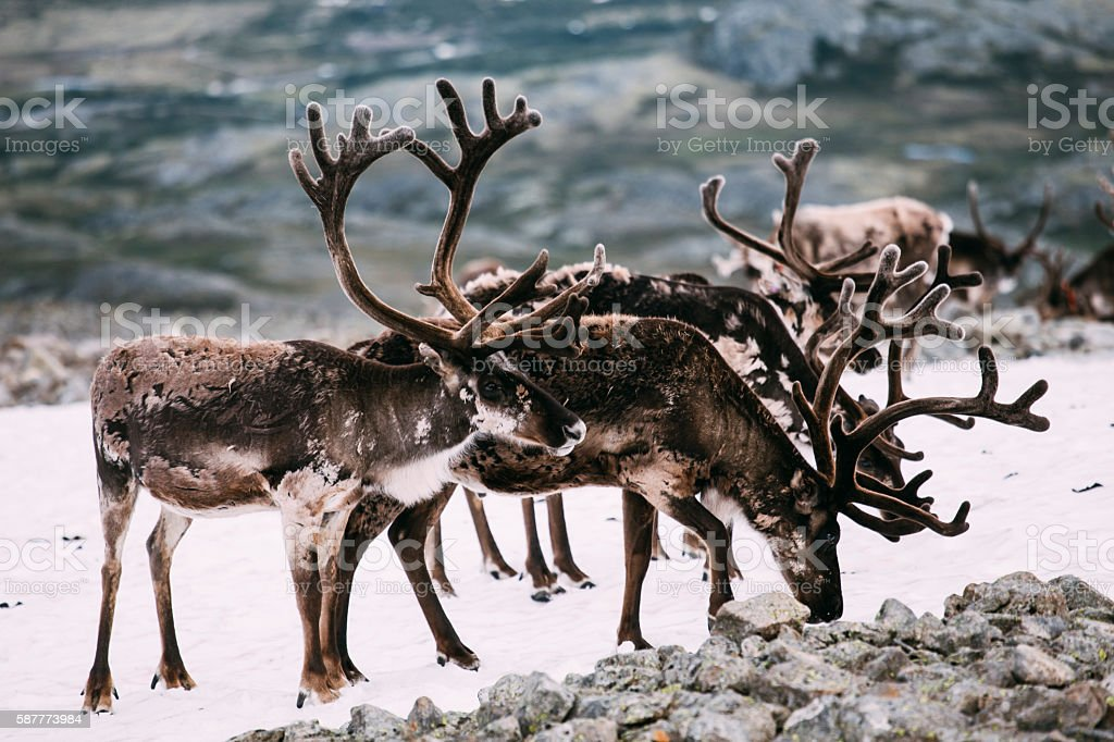 Pack of Norwegian reindeers standing on snow patch stock photo