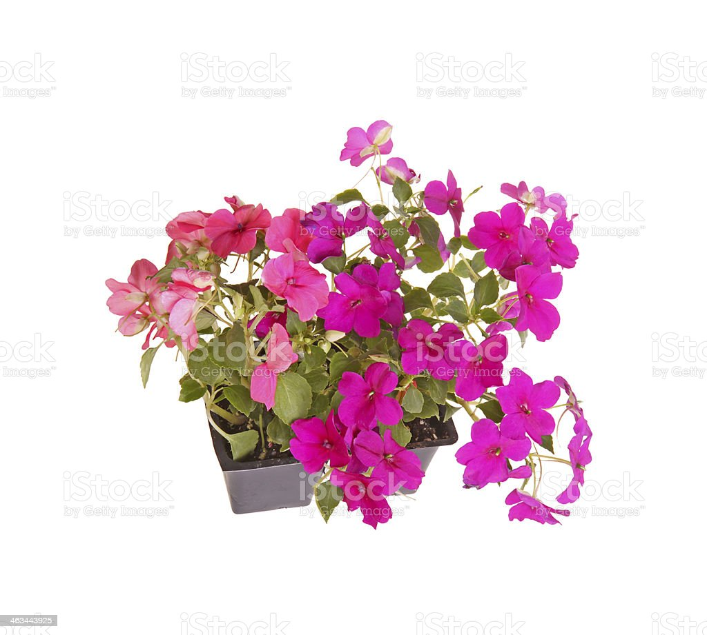 Pack of pink and purple impatiens seedlings ready for transplant stock photo