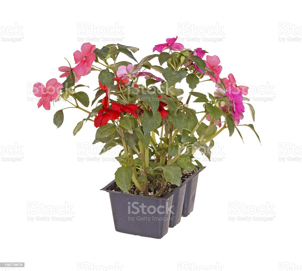 Pack of pink and red impatiens seedlings ready for transplanting stock photo