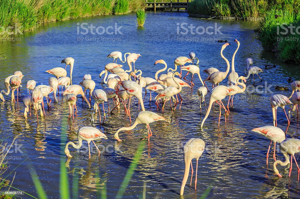 Pack of pink charming flamingos stock photo