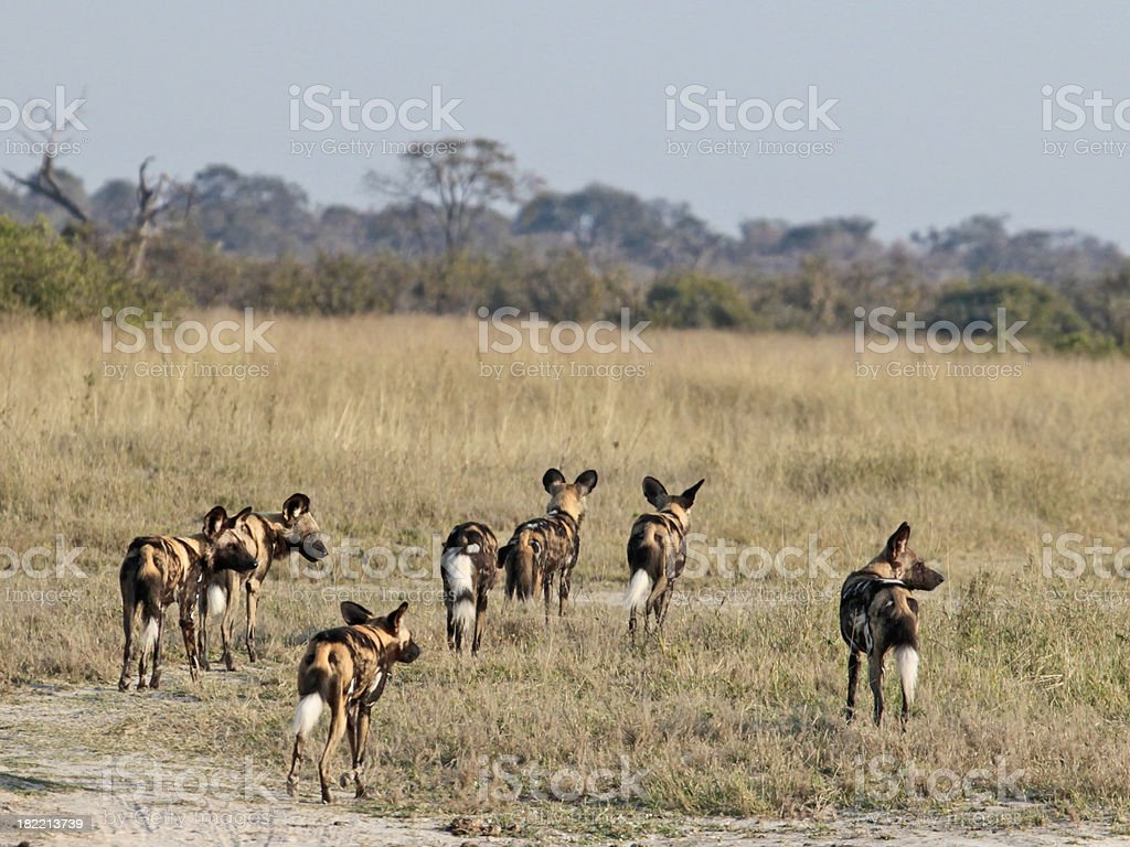 Pack of seven African Wild Dogs (Lycaon pictus), Chobe, Botswana stock photo