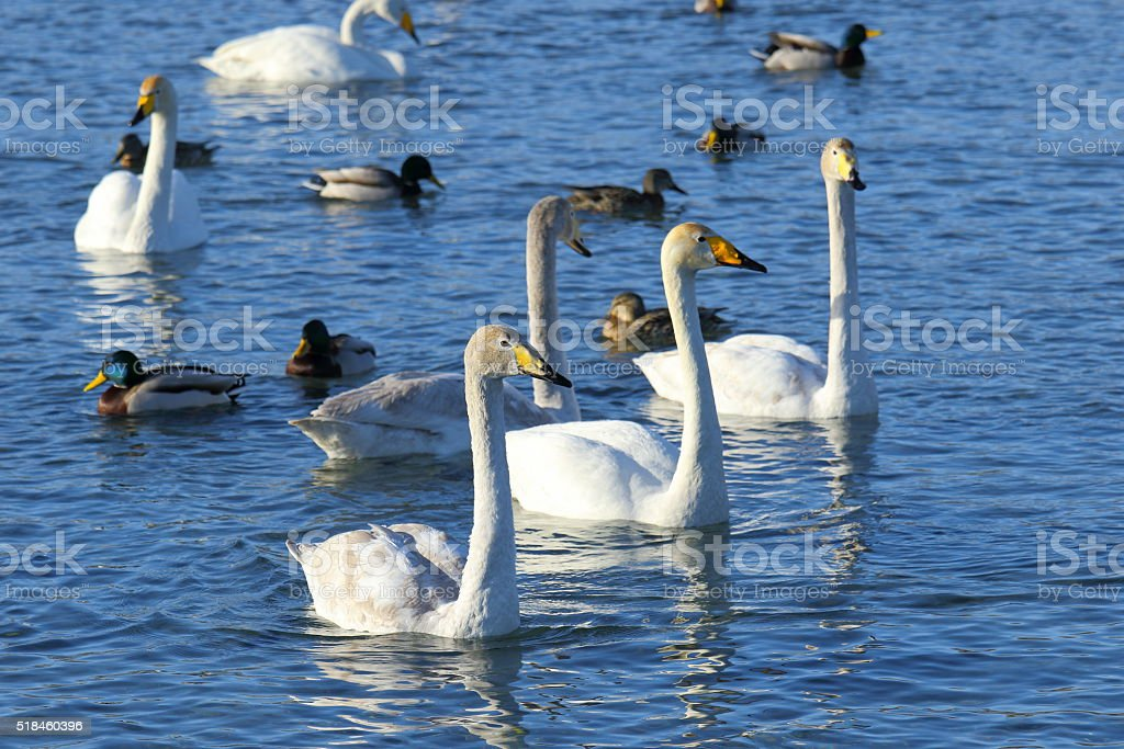 Pack of white swans stock photo