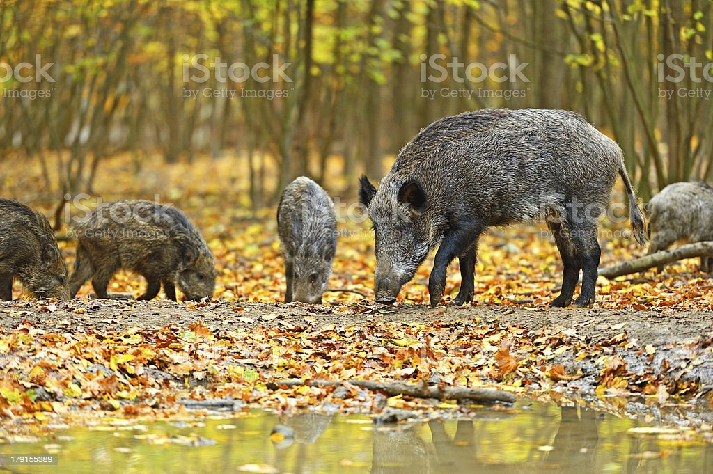 Pack of wild boar at a watering hole stock photo