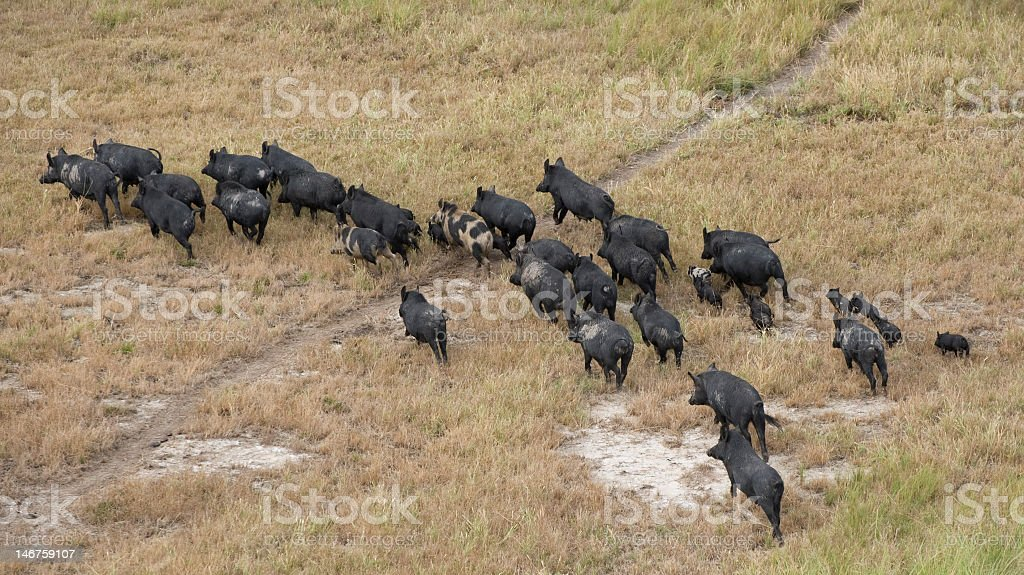 Pack of wild boars wandering on the grass stock photo