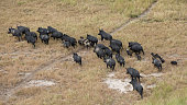 Pack of wild boars wandering on the grass