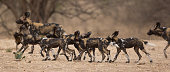 Pack of wild dogs (Lycaon pictus) on the move