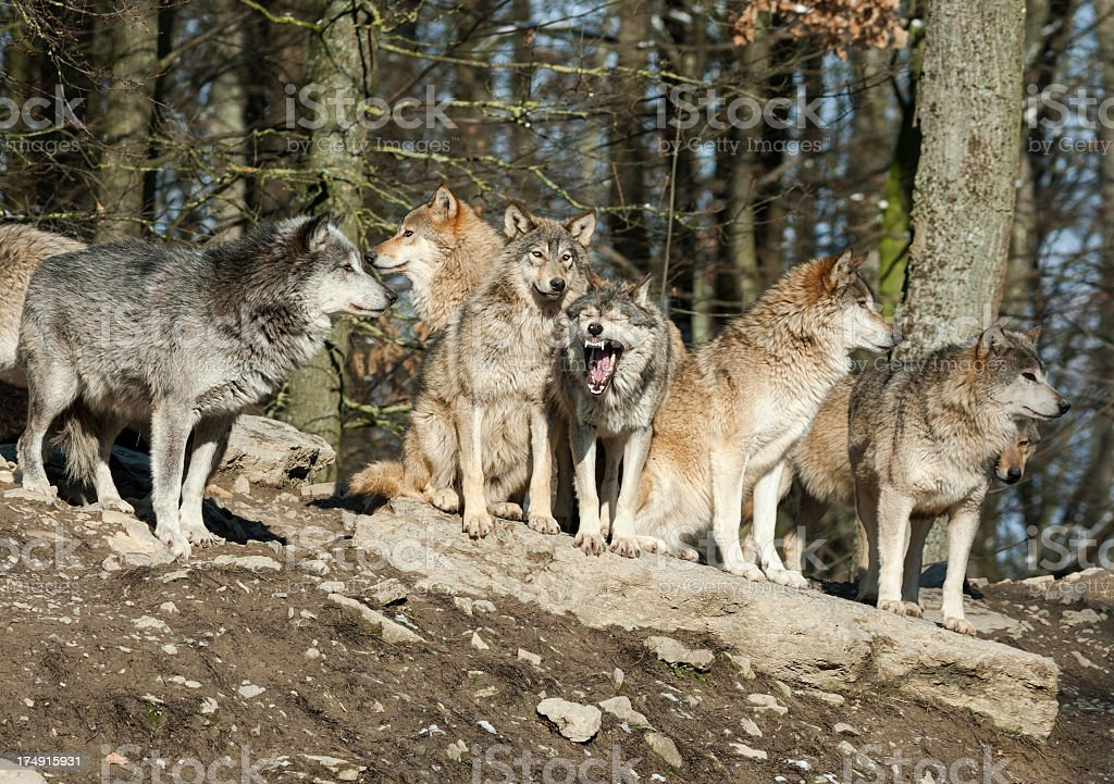 A pack of wolves howl in the forest with trees behind them stock photo