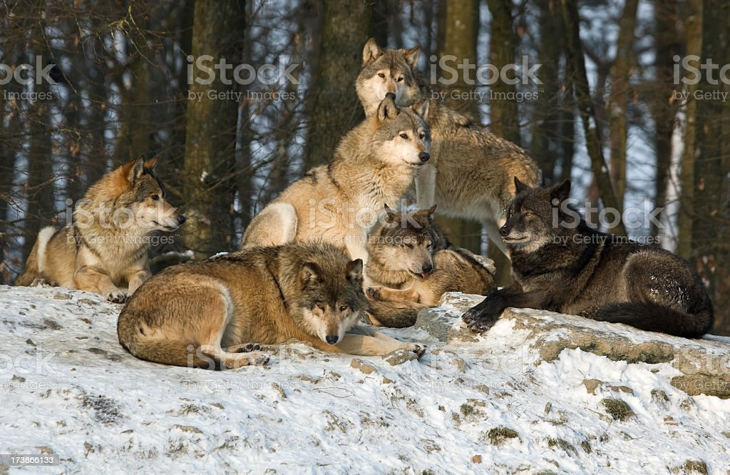 Pack of wolves resting on the snow stock photo