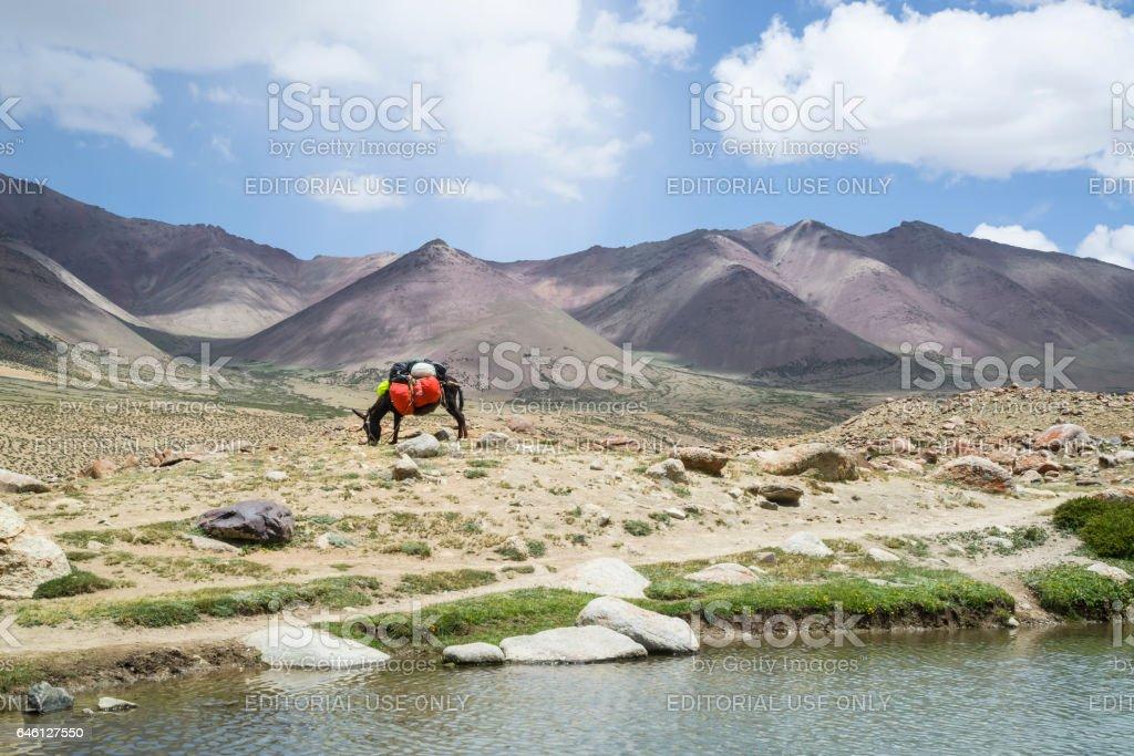 Packing donkey grazing by a mountain lake near Nemaling (Ladakh) stock photo