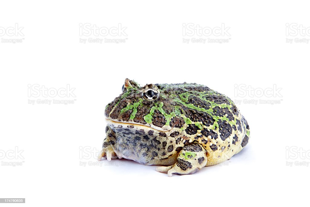 Pacman Frog Isolated On White royalty-free stock photo