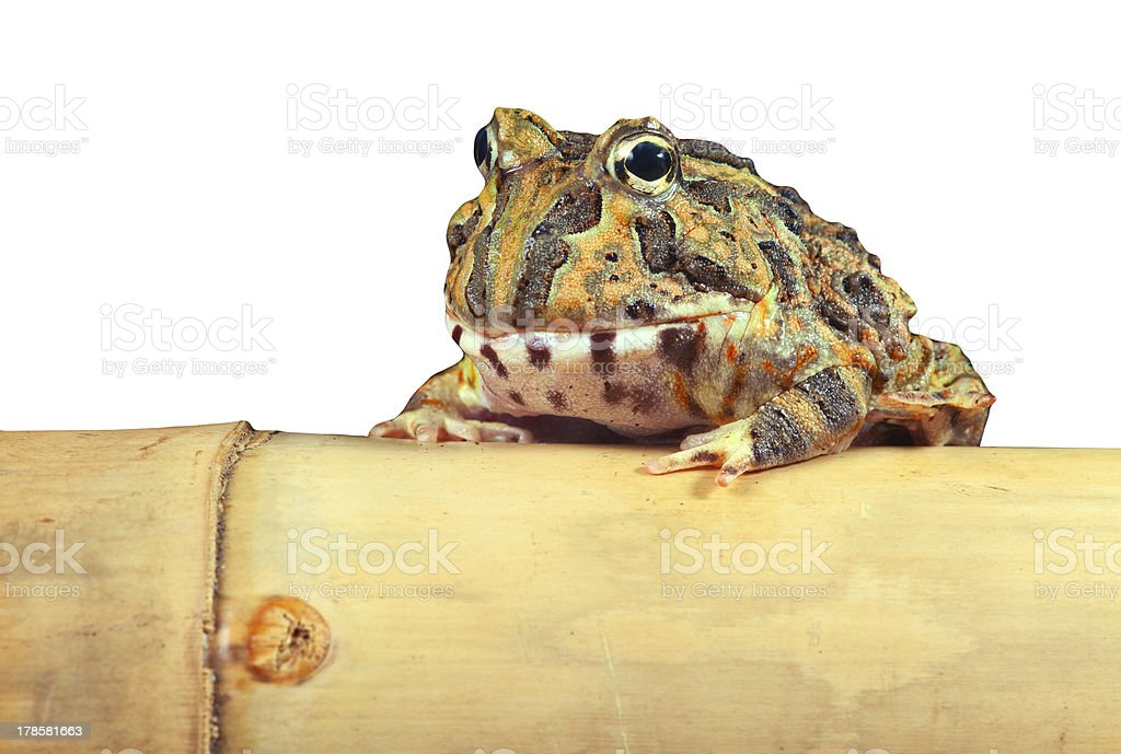 pacman frog isolated stock photo