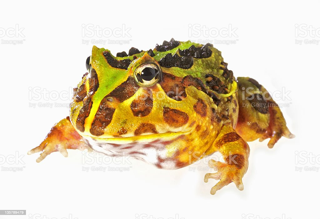 PacMan frog on white stock photo