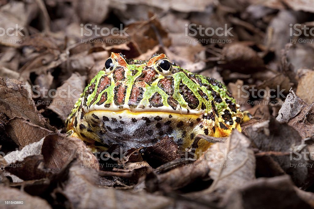 Pacman frog stock photo