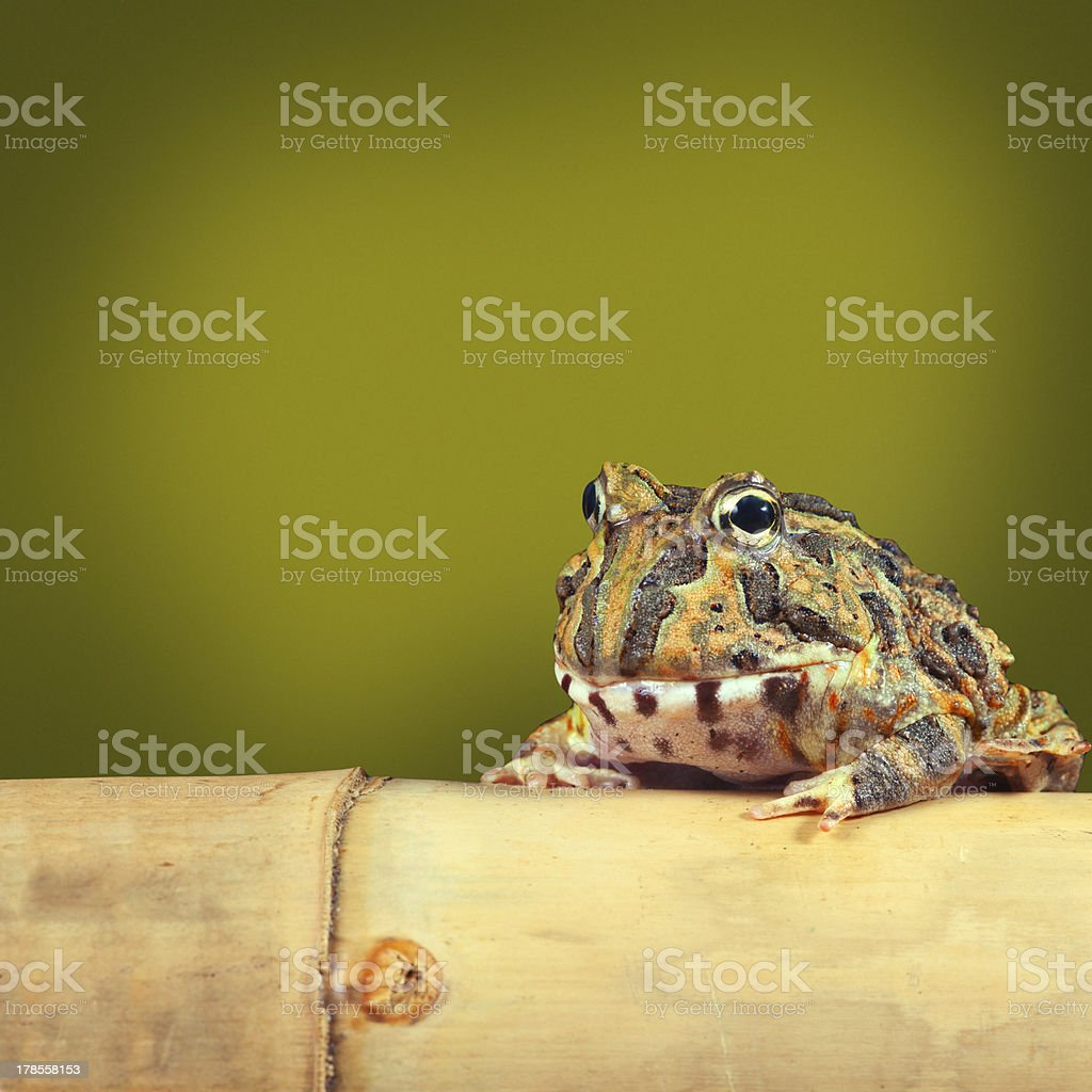 Pacman frog stock photo