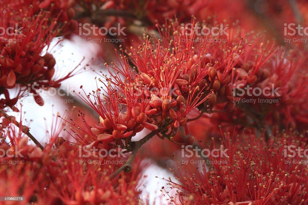 padauk flowers stock photo