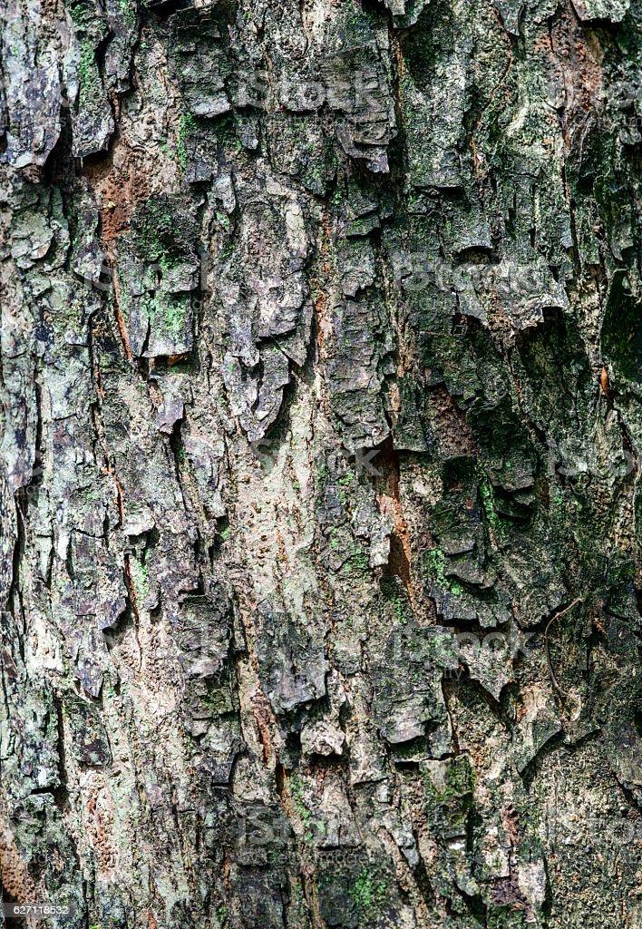 Padauk Tree Bark, Texture Background stock photo