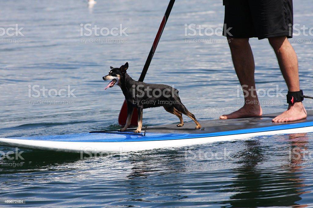 Paddle boarding Dog! stock photo