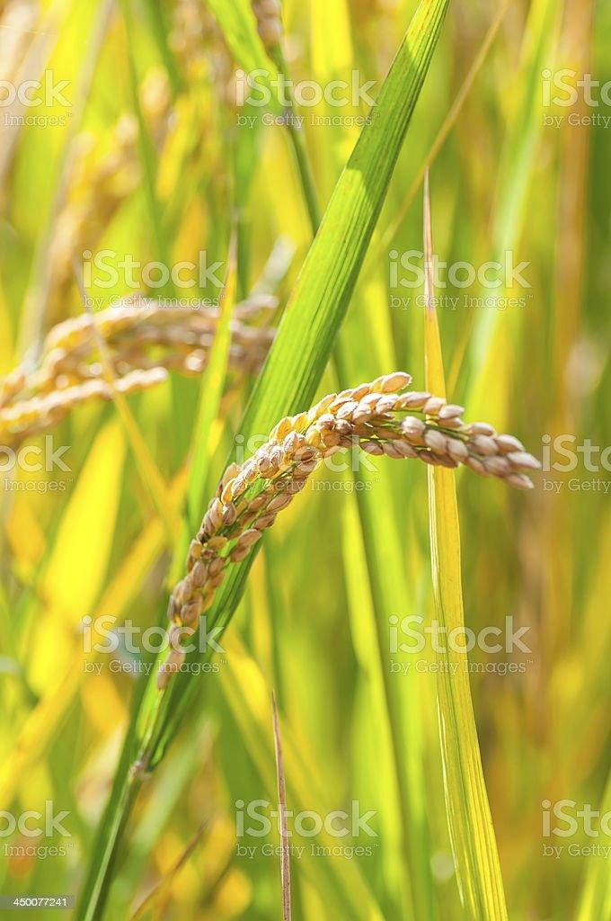 paddy and rice grain stock photo