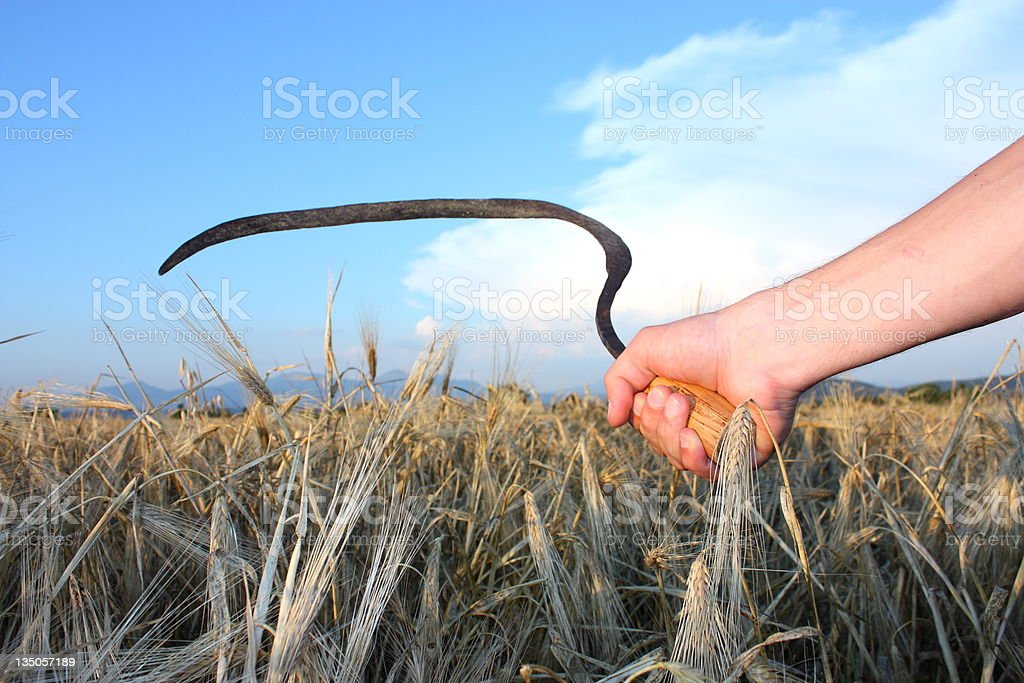 Paddy and wheat scythe royalty-free stock photo