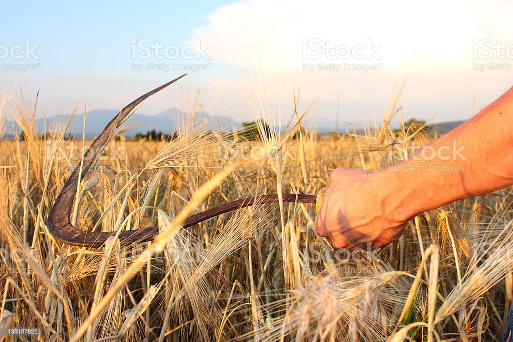 Paddy and wheat scythe stock photo