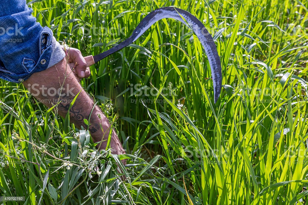 Paddy and wheat scythe stock photo