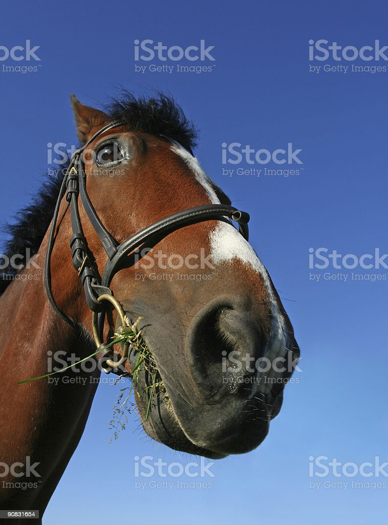 Paddy Chewing Grass royalty-free stock photo