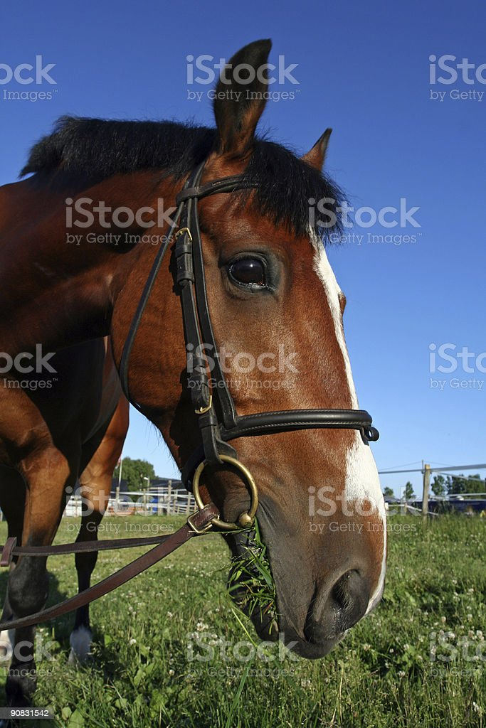 Paddy eating grass royalty-free stock photo