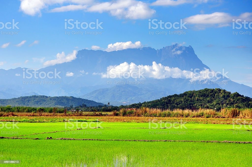 Paddy field and Mt. Kinabalu view in Kota Belud, Sabah. stock photo